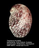 Theodoxus (Theodoxus) fluviatilis
