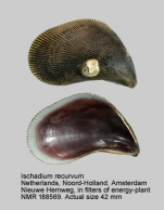Ischadium recurvum