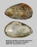Modiolus barbatus