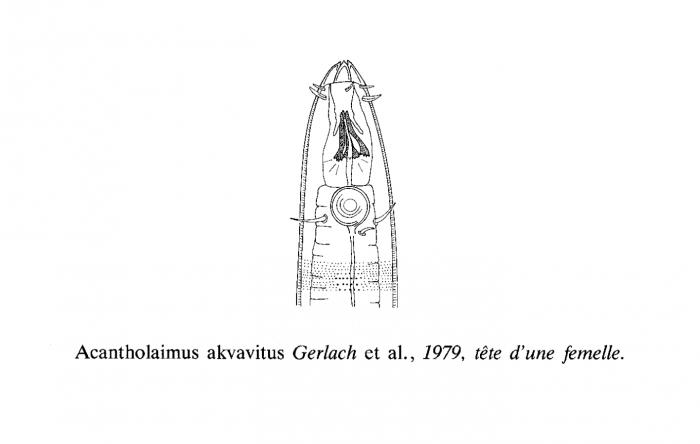 Acantholaimus akvavitus Gerlach, Schrage & Riemann, 1979