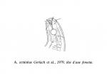 Acantholaimus arminius Gerlach, 1979
