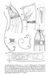 Acantholaimus iubilus Gerlach, Schrage & Riemann, 1979