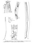Acantholaimus longistriatus Gourbault & Vincx, 1985