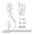 Acantholaimus ewensis Platt & Zhang, 1982