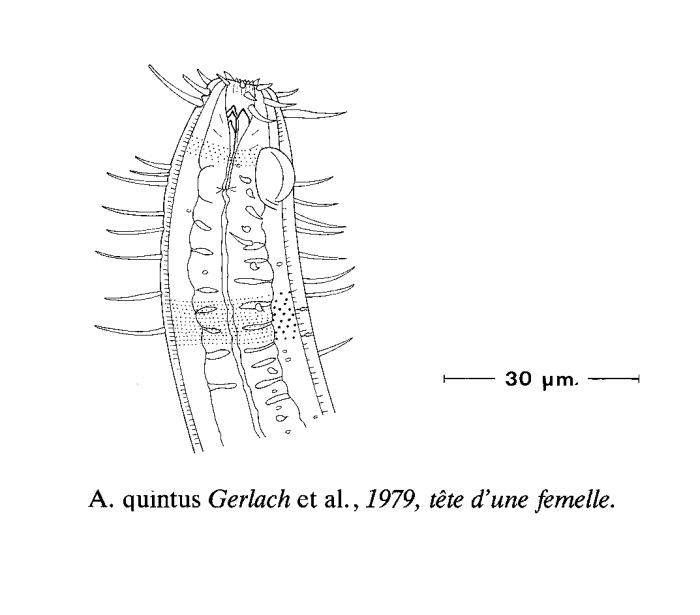 Acantholaimus quintus Gerlach, Schrage & Riemann, 1979