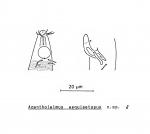 Acantholaimus aequisetosus Soetaert, 1988