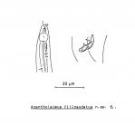 Acantholaimus filicaudatus Soetaert, 1988