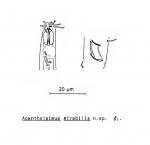 Acantholaimus mirabilis Soetaert, 1988
