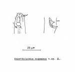 Acantholaimus pygmaeus Soetaert, 1988