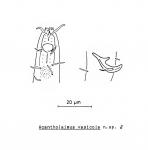 Acantholaimus vasicola Soetaert, 1988