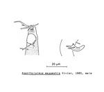 Acantholaimus megamphis Vivier, 1985