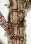 Neosiphonia harveyi