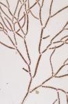 Stylonema alsidii
