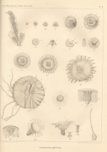 Van Beneden (1844, pl. 2)