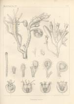 Van Beneden (1844, pl. 4)