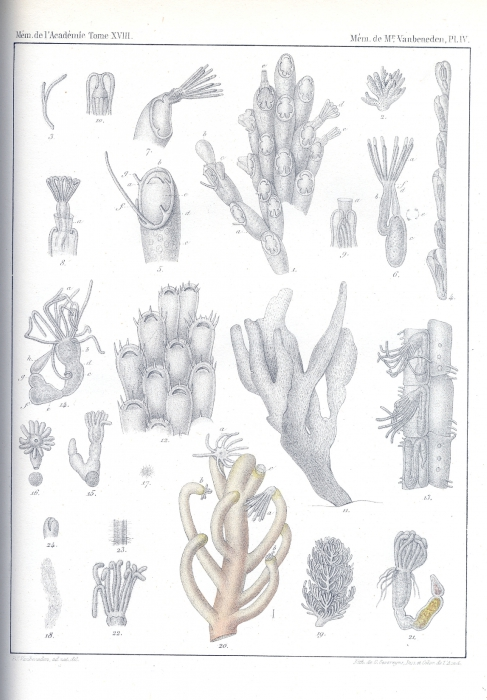 Van Beneden (1845, pl. 4)