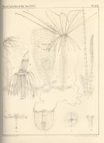 Van Beneden (1867, pl. 13)