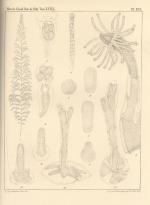 Van Beneden (1867, pl. 16)