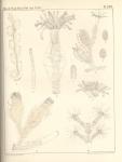 Van Beneden (1867, pl. 17)