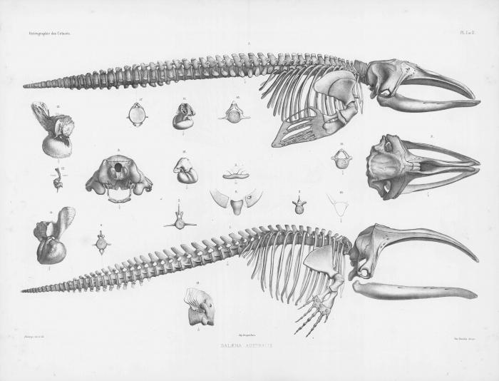 Van Beneden & Gervais (1880, pl. 01 & 02)
