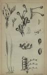 Westendorp (1843, pl. 1)