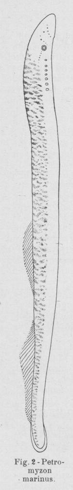 Gilson (1921, fig. 02)