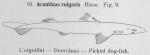 Gilson (1921, fig. 09)