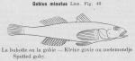 Gilson (1921, fig. 46)