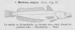 Gilson (1921, fig. 61)