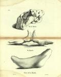 Dubar (1828, pl. 05)