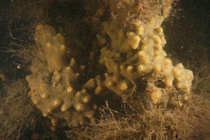 Halichondria panicea