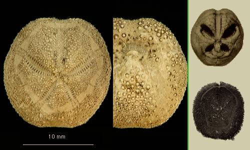 Abatus cavernosus