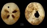 Amphipneustes brevisternalis