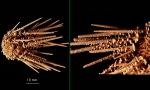 Austrocidaris spinulosa