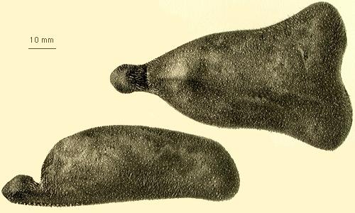 Ceratophysa ceratopyga