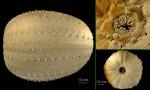 Dermechinus horridus