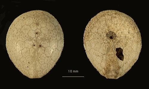 Plexechinus planus