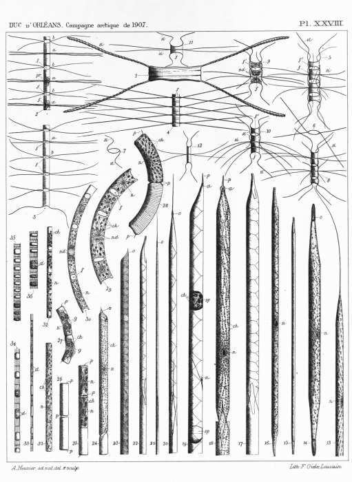 Meunier (1910, pl. 28)