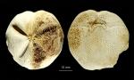 Tripylus excavatus