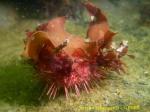 Sterechinus neumayeri 1