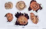 Bolocera tuediae (Johnston, 1832)