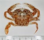 Liocarcinus marmoreus (Leach, 1814)