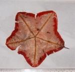 Anseropoda placenta (Pennant, 1777)
