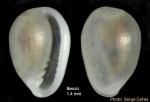 Granulina vanhareni (van Aartsen, Menkhorst & Gittenberger, 1984) - Specimen from Benzú, Strait of Gibraltar (height 1.4 mm)