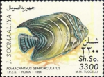 Pomacanthus semicirculatus (juv.)