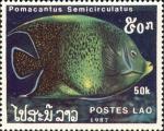 Pomacanthus semicirculatus