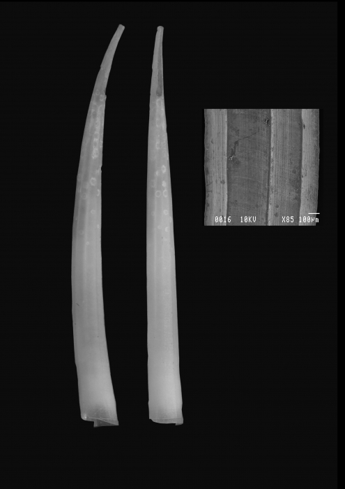 Heteroschismoides meridionalis Scarabino & Caetano, 2008