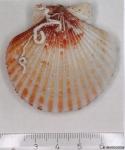 Aequipecten opercularis (Linnaeus, 1758)