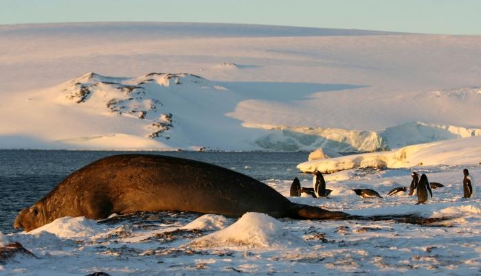 Elephant Seal and Gentoo Penguins