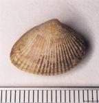 Timoclea ovata (Pennant, 1777)